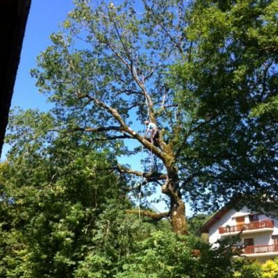 Chêne en cours de nettoyage